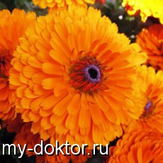 Лекарственная календула - MY-DOKTOR.RU