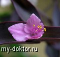 Сеткреазия пурпурная - MY-DOKTOR.RU